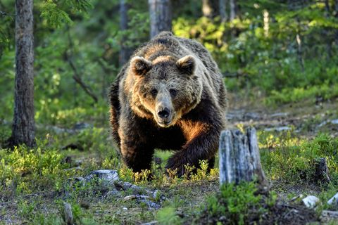 alfa male brown bear shows aggression towards other male bear by attacking it